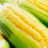 kukurydza-f1-andrea