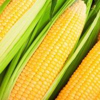 kukurydza-zl-karlowa