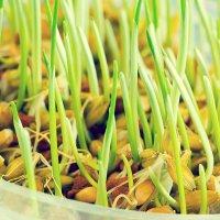 nasiona-kukurydzy
