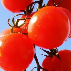 pomidor-malinowy-kujawski