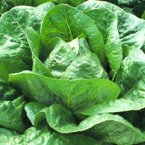 salata-galander