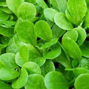 salata-roszponka